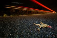 Bufo spinosus, Crapaud common, Crapaud épineux, Sapo, Common toad, Matthieu Berroneau, night, dark, death on road, mortalité, écrasement, phare, voiture