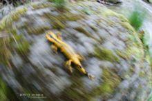 Salamandra salamandra fastuosa, Fire Salamander, Salamandre tachetée, Matthieu Berroneau, running, move, mouvement, déplacement, marche, walk