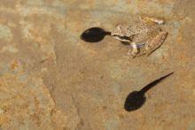 Rana pyrenaica, Pyrenean frog, Grenouille des Pyrénées, France, Matthieu Berroneau, tadpole, têtard