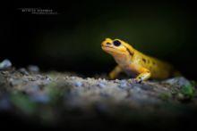 Salamandra salamandra bernardezi, Espagne, Spain, Salamandra salamandra, Fire Salamander, Salamandre tachetée, Matthieu Berroneau