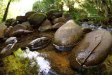 Golden-striped Salamander, Salamandra RabilargaChioglossa lusitanica longipes, Espagne, Spain, Espana, Matthieu Berroneau