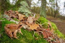 Grenouille agile, agile frog, Rana dalmatina, Matthieu Berroneau, France, habitat, forest, wood, forêt, bois