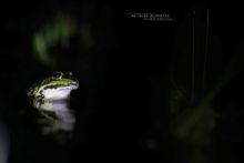Edible hybrid frog, Pelophylax kl. esculentus, Pelophylax, grenouille verte, Grenouille comestible, Common green frog, Matthieu Berroneau,