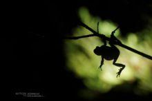 Hyla molleri, Rainette ibérique, Iberian tree frog, Ranita de San Antón, Matthieu Berroneau, France, jump, saut, night, nuit