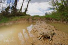 Bombina variegata, sonneur à ventre jaune, Yellow-bellied Toad, France, Matthieu Berroneau, ornière, habitat