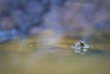 Bombina variegata, sonneur à ventre jaune, Yellow-bellied Toad, France, Matthieu Berroneau