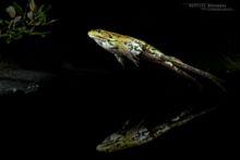 Edible hybrid frog, Pelophylax kl. esculentus, Pelophylax, grenouille verte, Grenouille comestible, Common green frog, Matthieu Berroneau, saut, jump,