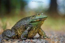 Lithobates catesbeianus, Grenouille taureau, Bullfrog, Ouaouaron, Matthieu Berroneau, France, Invasive species, espèce exotique