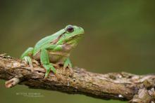 Hyla arborea, Rainette verte, Rainette arboricole, Common tree frog, Ranita de San Antón, Matthieu Berroneau, France