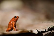 Oophaga pumilio, Strawberry Poison Frog, dendrobate fraise, Costa Rica