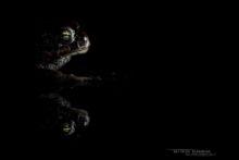 Epidalea calamita, Natterjack toad, toad, Crapaud calamite, Matthieu Berroneau, France, night, nuit, eye, oeil, macro