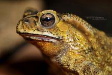Duttaphrynus melanosticus, Malaisie, Malaysia, Asian Toad, Matthieu Berroneau