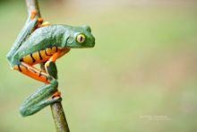 Cruziohyla calcarifer, Splendid leaf frog, Rana espléndida, Costa Rica, Matthieu Berroneau