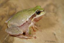 Hyla savignyi, Lemon-yellow Tree Frog, Iran, Matthieu Berroneau