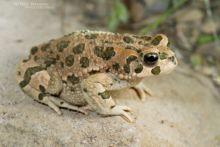 Bufotes variabilis, Iran, Variable Toad, Matthieu Berroneau