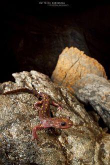 Paradactylodon persicus, Gorgan Cave Salamander, Iran, Matthieu Berroneau