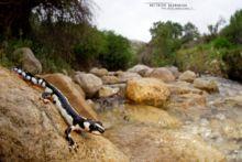 Neurergus kaiseri, Iran, Matthieu Berroneau, Kaiser's spotted newt