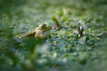 Edible hybrid frog, Pelophylax kl. esculentus, Pelophylax, grenouille verte, Grenouille comestible, Common green frog, Matthieu Berroneau, sac vocaux, chant, song, sing
