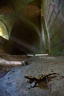 Salamandra salamandra terrestris, Fire Salamander, Salamandre tachetée, Matthieu Berroneau, urban, city, castle, ville, chateau