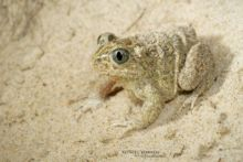 Pelobates cultripes, Western Spadefoot Toad, Pélobate cultripède, France, Matthieu Berroneau, sand, sable, dune, beach, plage