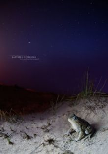 Pelobates cultripes, Western Spadefoot Toad, Pélobate cultripède, France, Matthieu Berroneau, sand, sable, dune, beach, plage, night, nuit