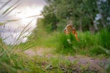 Grenouille agile, agile frog, Rana dalmatina, Matthieu Berroneau, France, saut, jump