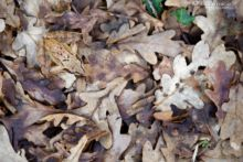 Grenouille agile, agile frog, Rana dalmatina, Matthieu Berroneau, France, mimétisme, mimetism, cryptic, hidden, leaf, dead leaf, feuilles mortes