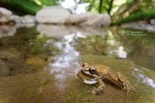Rana pyrenaica, Pyrenean frog, Grenouille des Pyrénées, France, Matthieu Berroneau