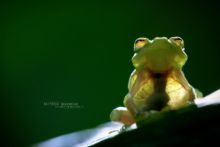 Hyalinobatrachium fleischmanni, Mexique, Mexico, Matthieu Berroneau, grenouille de verre, glass frog, Fleischmann's Glass Frog, Ranita de Cristal Norteña