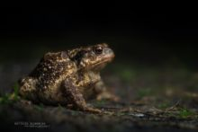 Bufo spinosus, Crapaud common, Crapaud épineux, Sapo, Common toad, Matthieu Berroneau, night, dark