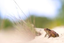 Bufo spinosus, Crapaud common, Crapaud épineux, Sapo, Common toad, Matthieu Berroneau, sand, dune, plage, beach, France