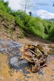 Bufo spinosus, Crapaud common, Crapaud épineux, Sapo, Common toad, Matthieu Berroneau, amplexus, reproduction, pyrénées