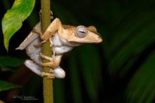 Borneo Eared Frog, Polypedates otilophus, Borneo, Malaysia, Malaisie