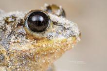 Pelobates cultripes, Western Spadefoot Toad, Pélobate cultripède, France, Matthieu Berroneau, sand, sable, dune, beach, plage, macro, eye, oeil