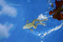 Pelophylax, Pelophylax kl. grafi, grenouille verte, Grenouille de Graf, Graf frog, Matthieu Berroneau, plongeon, saut, jump, dive, underwater