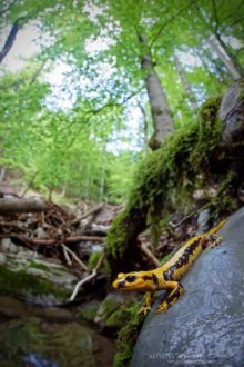 Salamandra salamandra fastuosa, Fire Salamander, Salamandre tachetée, Matthieu Berroneau, habitat, bois, wood, forest, forêt, stream, ruisseau