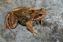 Rana temporaria, Grenouille rousse, Common Frog, Matthieu Berroneau, France