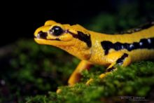 Salamandra salamandra fastuosa, Fire Salamander, Salamandre tachetée, Matthieu Berroneau, macro, head, tête, eye, oeil