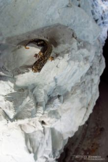 Cave Salamander, Speleomantes strinatii, Spélerpès de Strinati, Matthieu Berroneau, France