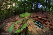 Green and Black Poison Frog, dendrobate, poison frog, Dendrobates auratus, Costa Rica, Matthieu Berroneau