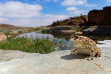 Mauritanian Toad, Sapo moruno, Sclerophrys mauritanica, Maroc, Morocco, Matthieu Berroneau