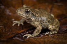 Alytes obstetricans, Alyte accoucheur, Crapaud accoucheur, Common Midwife Toad, Matthieu Berroneau, Sapo partero común