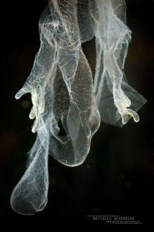 Triturus marmoratus, Triton marbré, marbled newt, Matthieu Berroneau, France, skin, mue