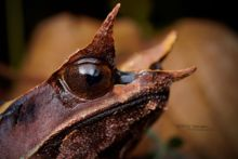 Megophrys nasuta, Long-nosed horned frog, Matthieu Berroneau, Malaisie, Borneo, Malaysia