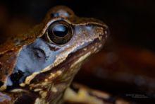 Rana temporaria, Grenouille rousse, Common Frog, Matthieu Berroneau, France, macro, eye, oeil