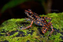 Pulchrana picturata, Spotted Stream Frog, Borneo, Matthieu Berroneau, Malaysia, Malaisie