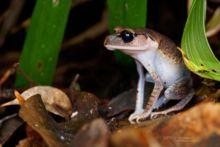 Leptobrachium abbotti, Lowland Litter Frog, Bornéo, Borneo, Matthieu Berroneau, Malaysia, Malaisie