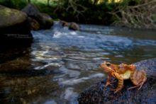 Rana temporaria, Grenouille rousse, Common Frog, Matthieu Berroneau, France, stream, ruisseau, cascade
