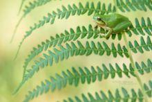 Hyla meridionalis, Rainette méridionale, Mediterranean tree frog, Stripeless Tree Frog, Ranita, Matthieu Berroneau, France, bokeh