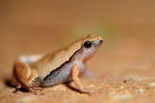 Dark-sided Chorus Frog, Microhyla heymonsi, Malaisie, Malaysia, Matthieu Berroneau
